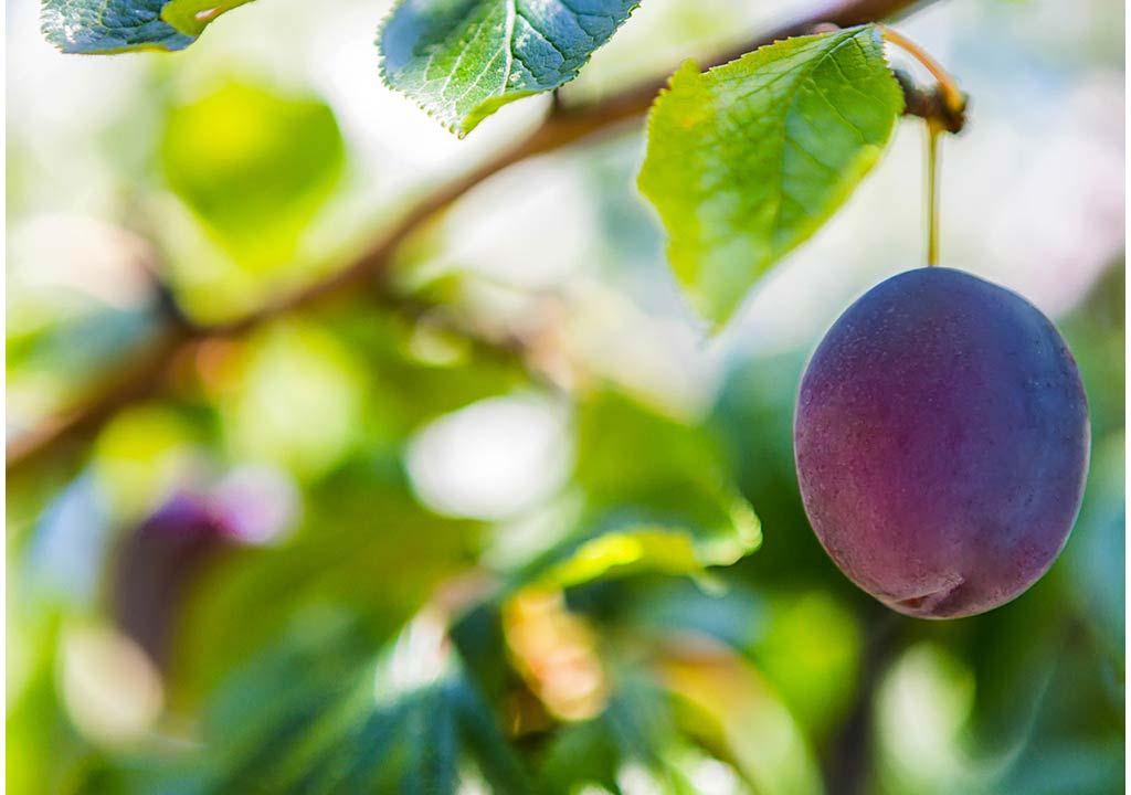 Skopelos prunes